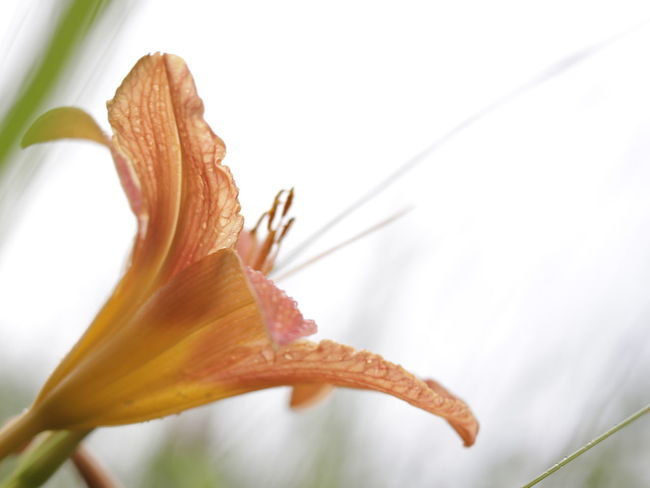 Beauty In Nature Close-up Day Day Lily Flower Flower Head Fragility Freshness Growth Nature No People Outdoors Petal Plant White Background