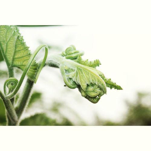 Merambati kehidupan. Pucukdaun Plant Plants Pohonrambat sayuran daunlabu Made with @nocrop_rc rcnocrop
