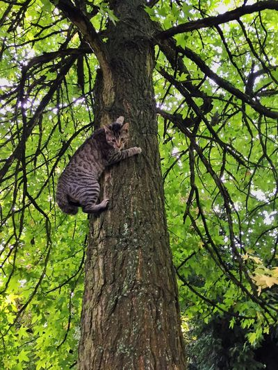 Tree One Animal Branch Tree Trunk Mammal Animal Themes Climbing Nature Green Color Animal Wildlife Animals In The Wild Outdoors Day Full Length Feline No People Beauty In Nature Leopard Cat Lost In The Landscape This Is Strength This Is Strength