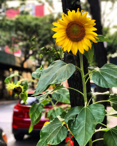 Flower Flowering Plant Growth Beauty In Nature Freshness Vulnerability  Flower Head Sunflower No People Outdoors Focus On Foreground Close-up Fragility Yellow Nature Day Plant Leaf Plant Part Petal Inflorescence Green Color