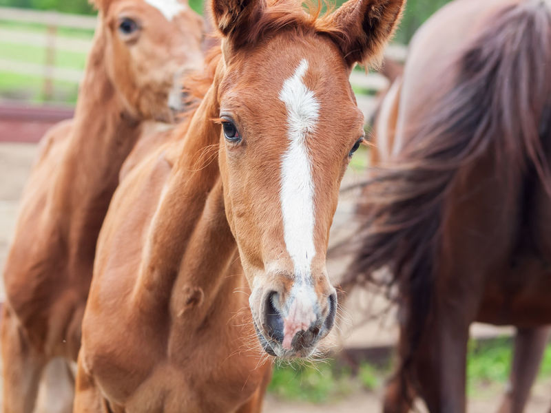 portrait of running foals Animal Animal Head  Animal Themes Brown Close-up Day Domestic Animals Foals Horse Livestock Mammal Nature No People Outdoors Togetherness
