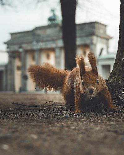 Close-up portrait of squirrel