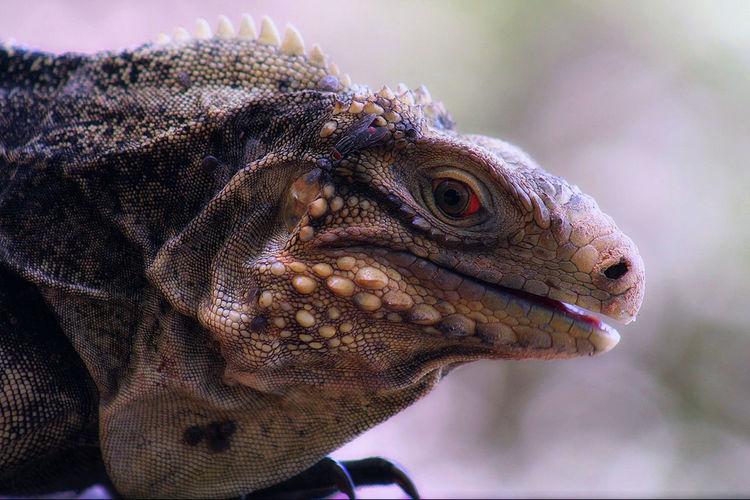 Iguana #iguana #Caribbean #cuba #tropical Lizard Gecko Exotic Pets Tropical Rainforest Animal Scale Chameleon Animal Eye