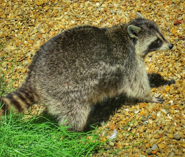 trash panda.... Racoon Close Up Racoon Trashpanda Animal Themes One Animal Day No People High Angle View Outdoors Nature Mammal Sunlight Grass Close-up