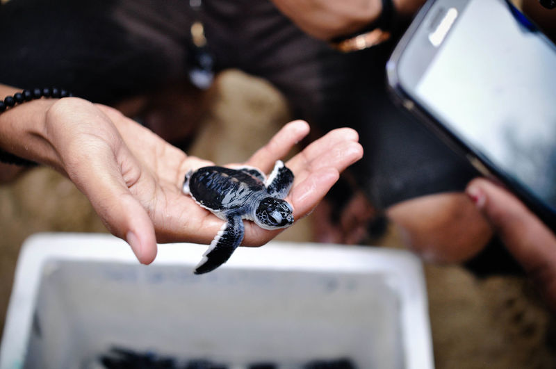 Baby Turtle Experiencing Life Holding Leisure Activity Lifestyles Meaningful  Personal Perspective Release Turtles