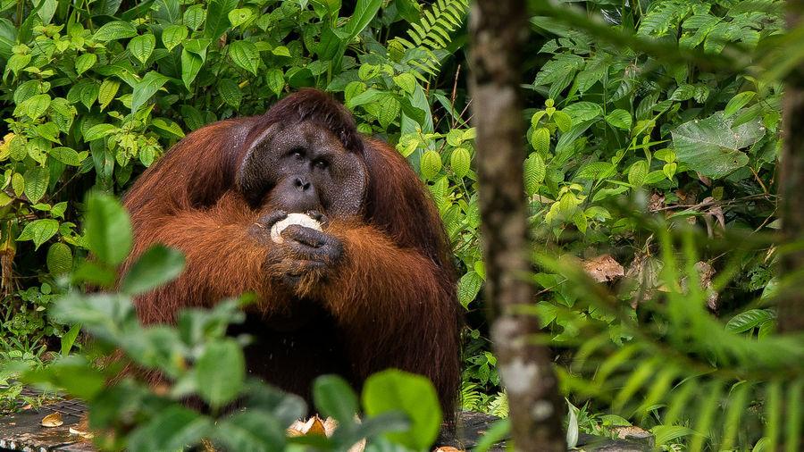Orangutan by tree