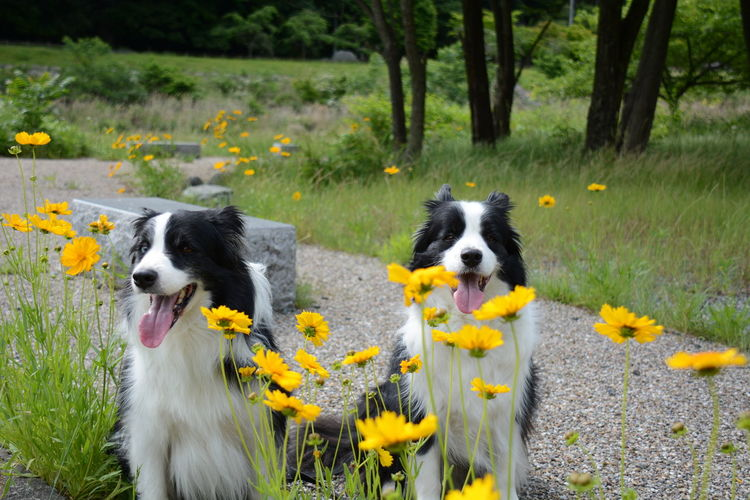 Border collie dogs sitting by yellow flowers in park