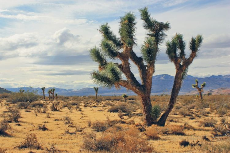 Joshua Tree Nature Growth Tree Sand Sea Cloud - Sky Cactus Landscape Ecosystem  Outdoors No People Day Beauty In Nature Arid Climate Sky Desert Desert Kern County