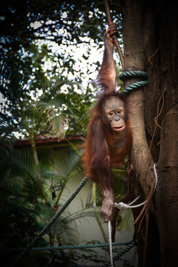 Animal Themes Animals In Captivity Close-up Day Hanging Mammal Monkey Nature No People One Animal Orangutan Outdoors