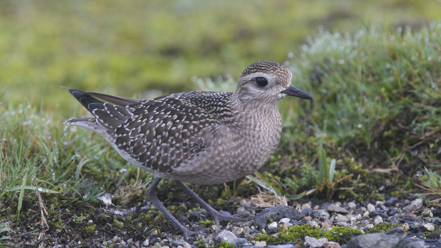 American Golden Plover Aves Cornwall Birds Davidstow Airfield Animal Themes Animal Wildlife Animals In The Wild Bird Birds Close-up Cornwall Nature Outdoors Wader Waders