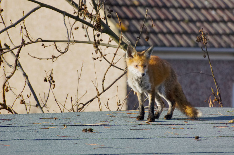 Fox on shed 2 City Fox City Hunting Wildlife Collection Fox🐺 Urban Fox Fox Pic Urban Wildlife Skulking Furry Foxes Fox Face London Fox Wild Animal Fox Hunting For Food Wild Fox Shed Rooftop Roof Searching Wildfox Garden Garden Animals Red Fox