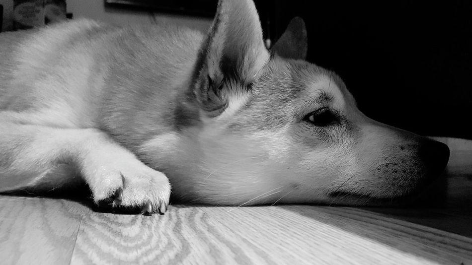 Shiba Inu Shiba Inu LOVE Dog❤ Dog Love Sad Sad Face