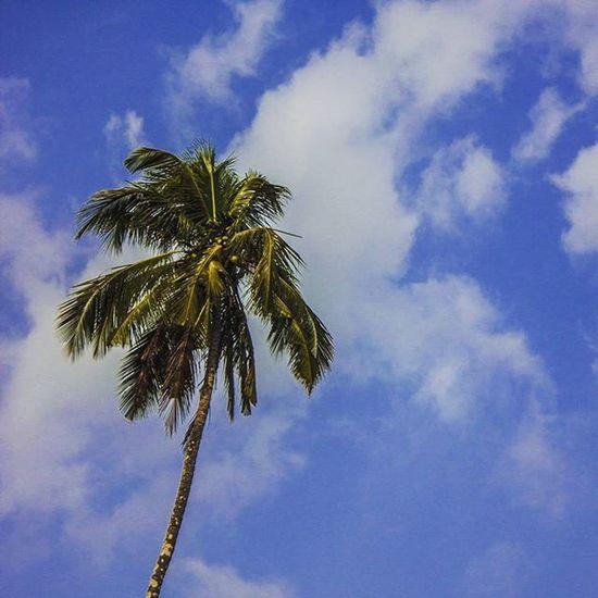 Instapic Instaman Me Photographer Photography Photographyislifee Photographylovers ForTheLoveOfPhotography Sky Trees Skyandclouds  Skyandtree Coconut Bluesky Solitude Goa Goan Goenkar Goatourism Visitgoa Palmtrees Palmtree