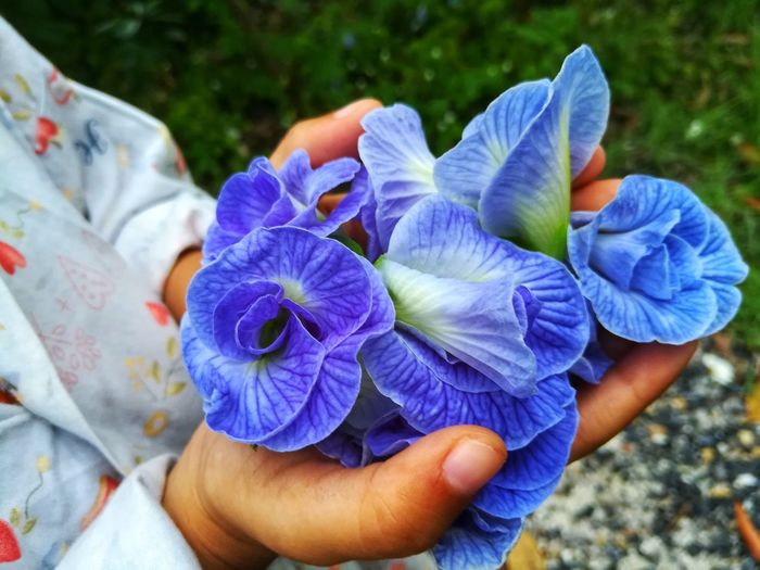 Midsection of person holding purple flowers