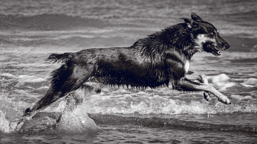 Side view of dog running in sea