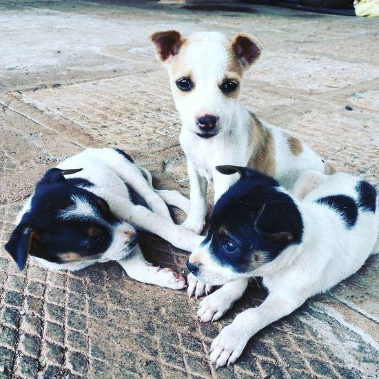 Domestic Animals Puppy Puppies At Karnataka India
