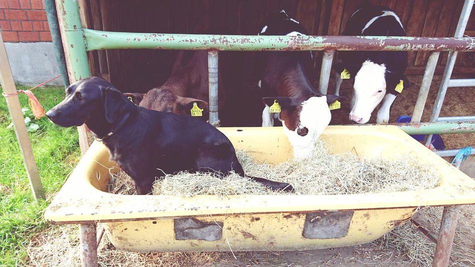 Hund Kuh Kühe Cow Dog Badewanne Bathtub Futtertrog Feeding Trough Farm Bauernhof Animals Tiere