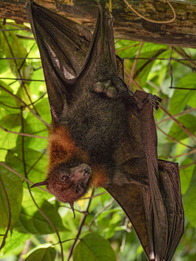 Just hanging in the tree Bat Animal Animal Head  Animal Themes Animal Wildlife Animals In The Wild Bat - Animal Branch Close-up Day Focus On Foreground Green Color Leaf Mammal Nature No People One Animal Outdoors Papiliorama Plant Plant Part Tree Vertebrate