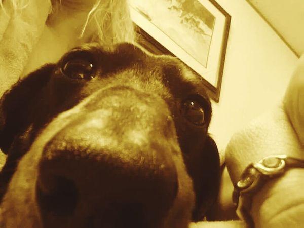 Dog Weinerdog Wienerdog Big Nose Cute LOL Vinnie