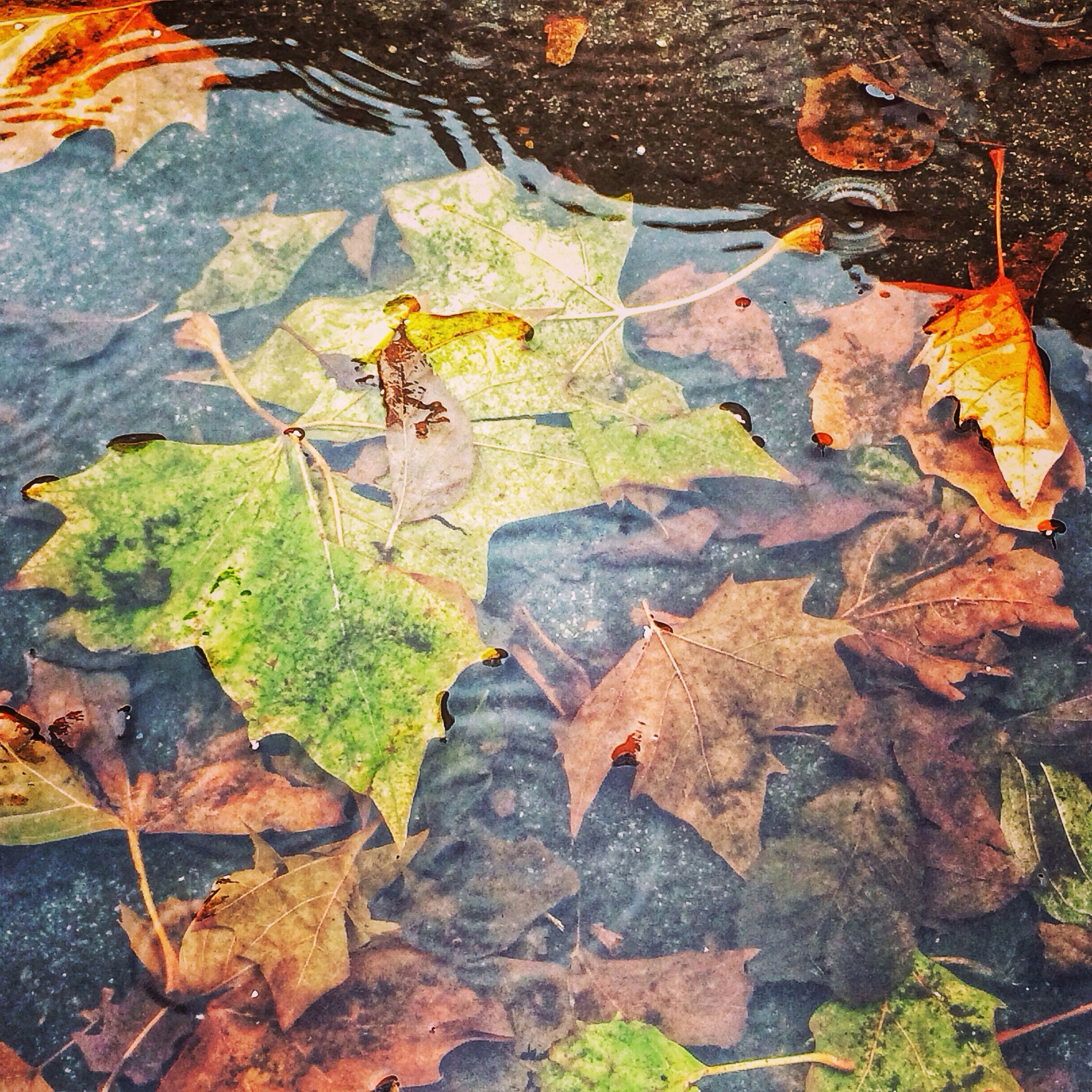 leaf, autumn, leaves, change, season, dry, high angle view, fallen, leaf vein, water, maple leaf, nature, natural pattern, reflection, wet, outdoors, floating on water, full frame, close-up, day