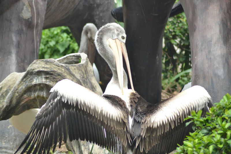 Endangered Species Wild Animal Animal Conservation Animal Themes Animal Wildlife Animal Zoo Bird Close-up Endangered Animals Endangered Bird Nature No People Outdoors Pelican Pelican Birds Spread Wings Wild Bird Wild Life Wild Life Photography Wild Nature first eyeem photo
