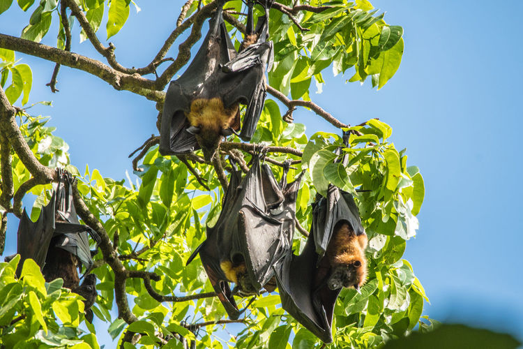 Fruit Bats, Botanical Gardens, Sri Lanka Bat Beauty In Nature Branch Clear Sky Day Fear Flight Freedom Fruit Bats Growth Halloween Hanging Leaf Low Angle View Mammal Nature No People Outdoors Scary Sky Tree Wings Wingspan