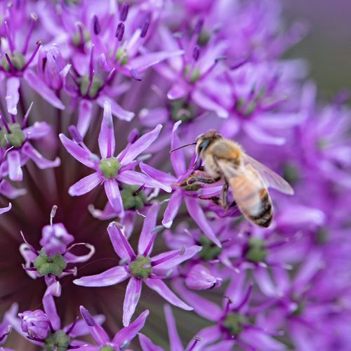 Close-up of bee on purple flower