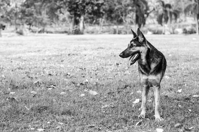 Alsatian Animal Themes Day Dog Domestic Animals Field Focus On Foreground Full Length German Shepherd Grass Grassy I Love My Dog Mammal One Animal Outdoors Pets Side View Standing