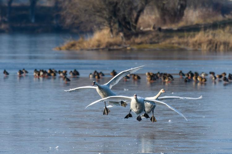 Swans flying over lake