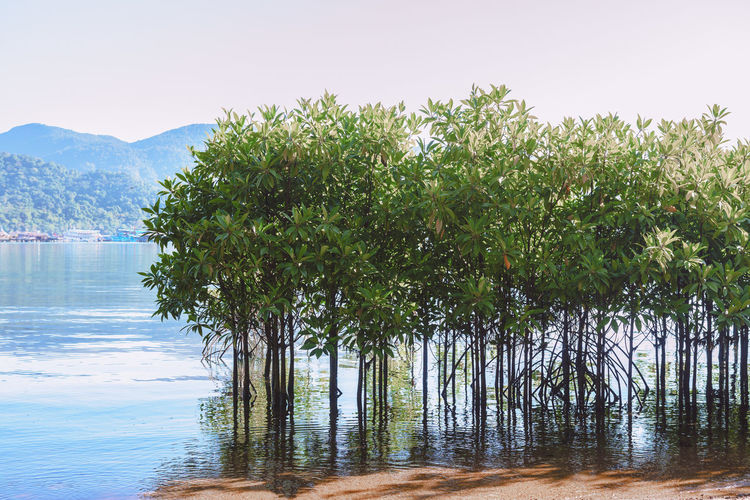 Mangroves growing in shallow sea Bang-Bao Bay in Koh Chang Island, Trat Province, Thailand. Beauty In Nature Day Ecosystem  Environment Lake Landscape Mangrove Forest Mangroves Nature No People Outdoors Rhizophora Scenics Swamp Tree Tree Tropical Water