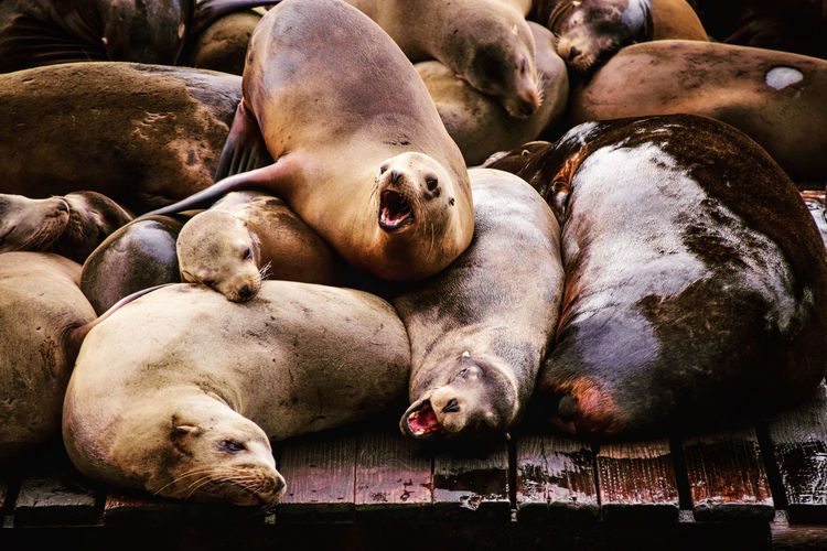 Sea lions lying down on deck at pier 39