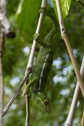 Animal Themes Animal Wildlife Animals In The Wild Beauty In Nature Branch Chameleon Close-up Day Focus On Foreground Green Color Growth Insect Nature No People One Animal Outdoors Tree