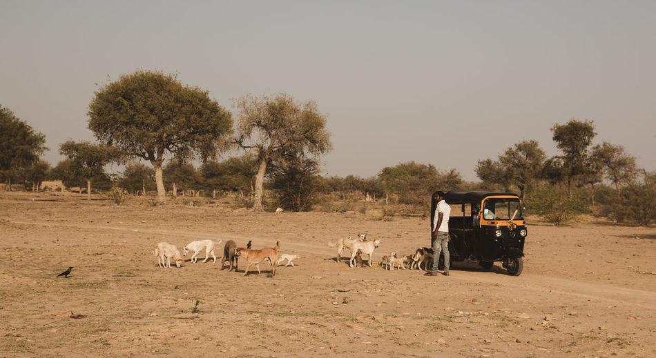 The pied Piper of desert ... Travel Dogs Desert Exploring Jaisalmer Rajasthan Dried Rickshaw Pied Piper Follow Storytelling Group Of Animals Surrounding People Rural Scene Rural Tree Full Length Sky Arid Climate Barren Drought Arid Landscape Sand Dune Arid