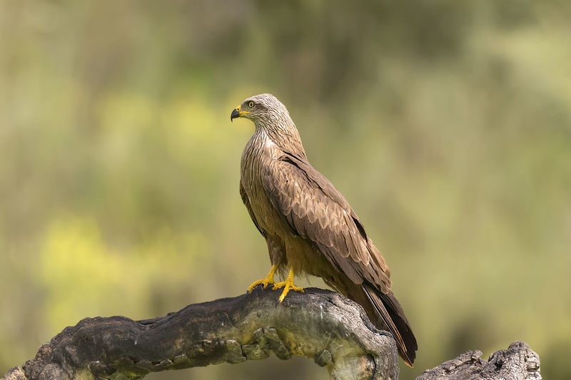 Close-up of eagle perching on rock