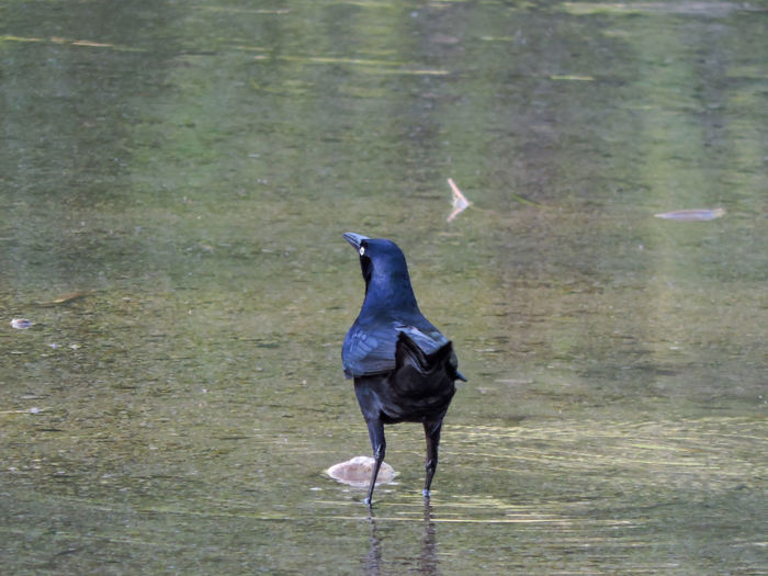 Mallard duck on lake