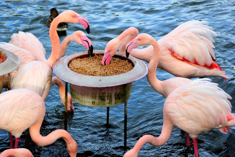 View Of Flamingos Pecking Grains
