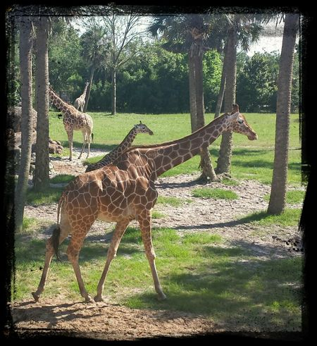 Giraffes at the Jacksonville Zoo and Gardens Giraffe Zoo Jacksonville Florida Jacksonville Zoo