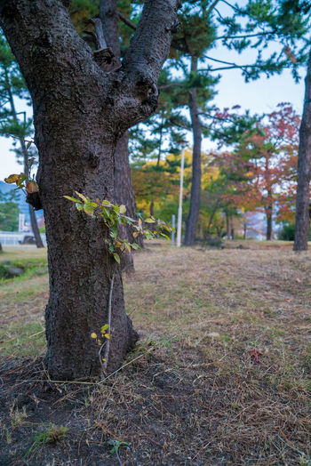 Streetphotography Street Tree Plant Tree Trunk Trunk Land Growth Nature Day Tranquility Focus On Foreground Field No People Outdoors Beauty In Nature Forest Grass Landscape Tranquil Scene Environment Scenics - Nature EyeEmNewHere Autumn Autumn Mood