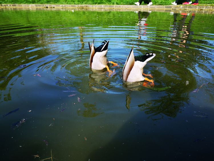 Duck Bums Duck Bum Duck Ooo Seemooore Huawei P20 Pro Leica Lens Mobilephotography Photography Photooftheday EyeEm Selects Swimming Lake Swan Reflection Water Bird Duck Animal Themes Mallard Duck Floating On Water Floating