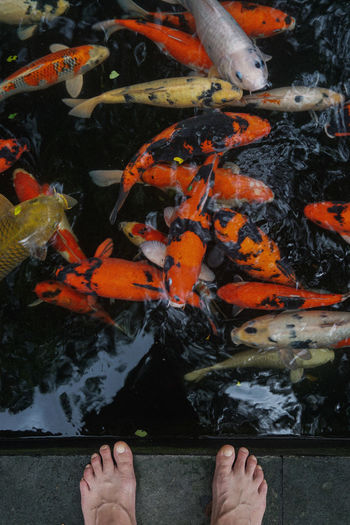 Low section of person standing by koi carps swimming in pond