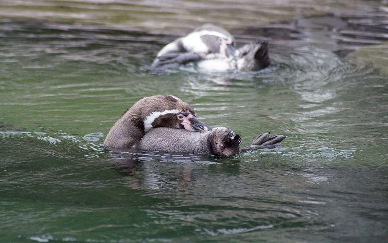 Pinguins swimming in lake