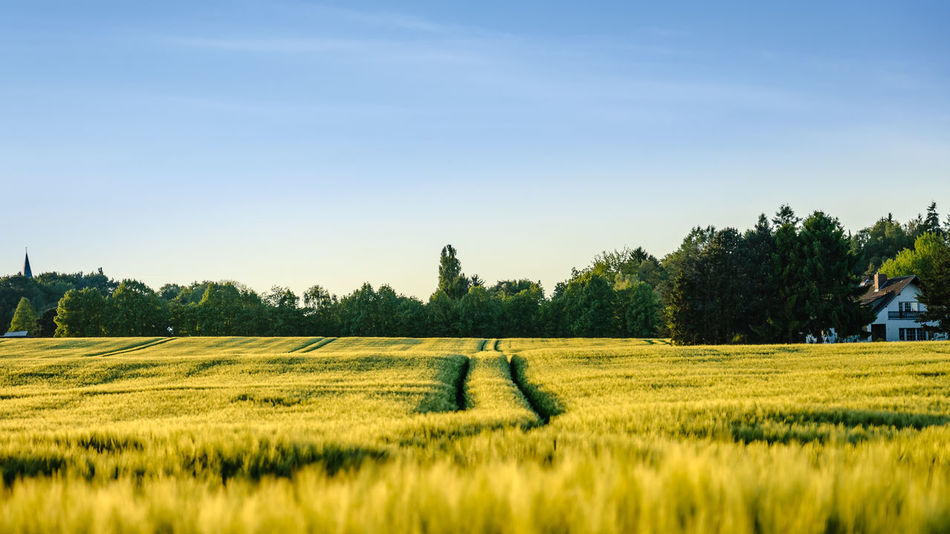 a summerday in a field Agriculture Beauty In Nature Blue Clear Sky Day Field Grass Growth Landscape Landscapes Nature No People Outdoors Scenics Sky Tranquil Scene Tranquility Tree Yellow Color