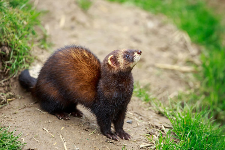 Close-up of ferret on field