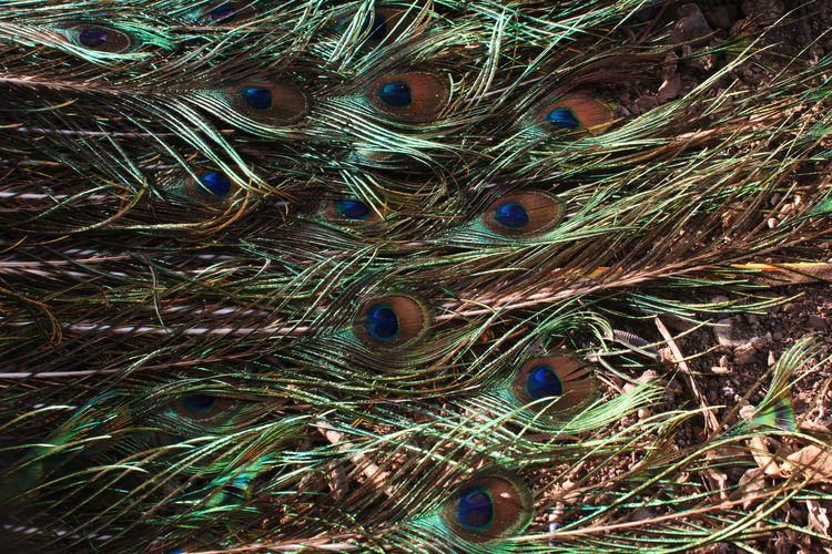 Details of Kanoman Market, Cirebon. December 2017. Documentary Photography Farmers Market Market Traditional Market Animal Crest Animal Themes Animal Wildlife Animals In The Wild Backgrounds Beauty In Nature Bird Close-up Day Fanned Out Feather  Fragility Full Frame Green Color Kanoman Market Nature No People One Animal Outdoors Pasar Kanoman Peacock Peacock Feather Streetphotography