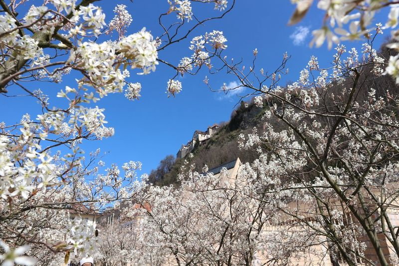 Lovely Vaduz Branch Tree Growth Low Angle View Nature Flower Springtime Beauty In Nature Sunlight Blossom No People Fragility Outdoors Day Freshness Sky Liechtenstein Vaduz