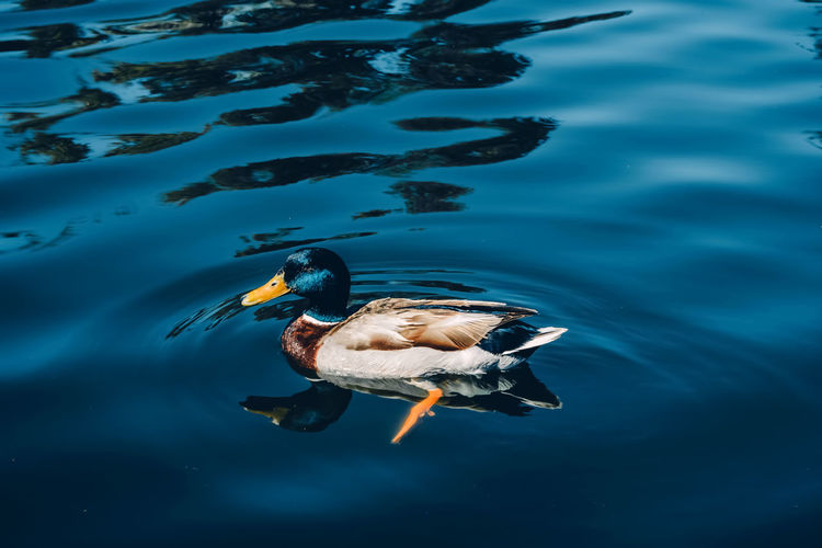 Duck Colors Colorful Color Blue Blue Sky Blue Wave Blue Water Blue Water Swimming Sea Life UnderSea Water Reptile Sea Tortoise Close-up Underwater Floating In Water Duck Mallard Duck