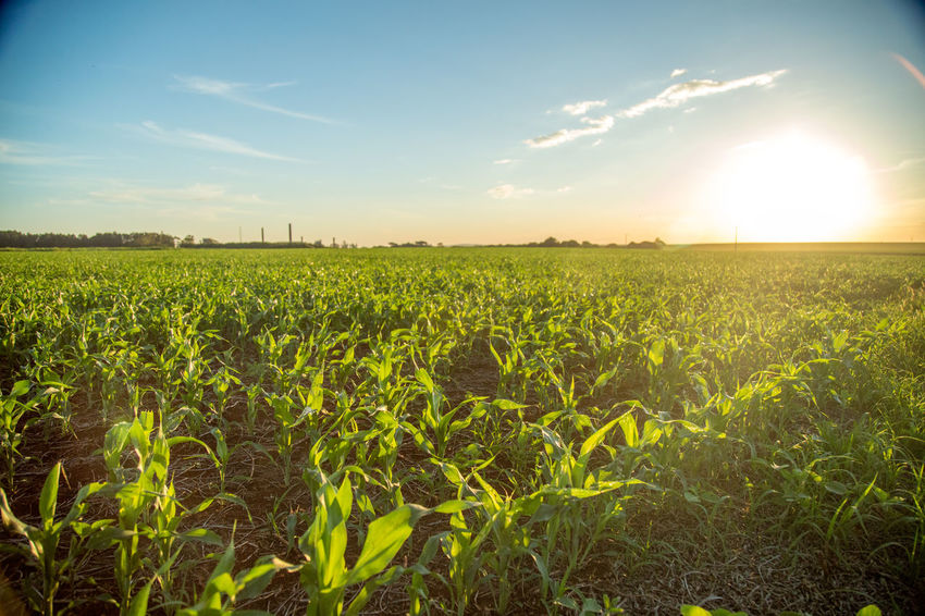 Agriculture Beauty In Nature Cereal Plant Crop  Day Farm Field Growth Landscape Nature No People Outdoors Rural Scene Scenics Sky Sorghum Sunset Tranquility