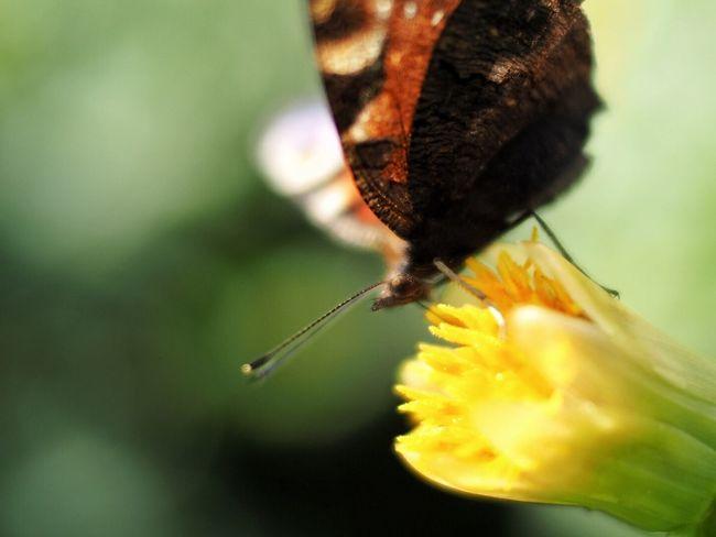 Butterfly Fjäril Flower Voigtländer Nokton 25mm F0.95 Olympus OM-D E-M5 Mk.II Yellow Flower Nature Nature_collection