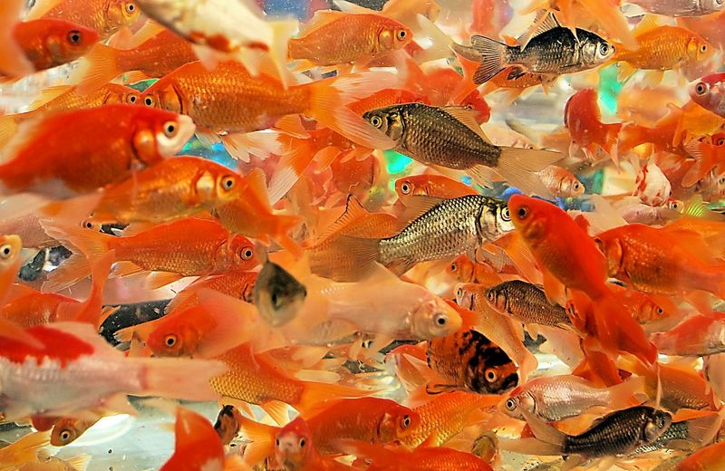 At the fair Abundance Aquarium At The Fair Backgrounds Close-up Fish Full Frame Goldfish Multi Colored Nature No People Orange Color School Of Fish Summer Summer Fun Swim Swimming Color Palette