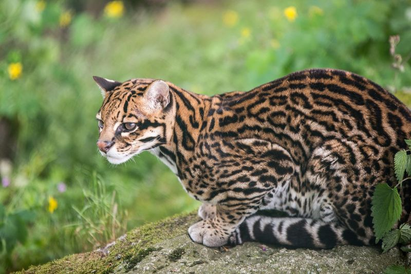 Tierpark Altenfelden ❤️ Animal Themes Animal Animal Wildlife Feline One Animal Animals In The Wild Cat Nature Focus On Foreground Day